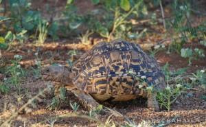 Pantherschildkröte  (Stigmochelys pardalis) im Krüger Nationalpark