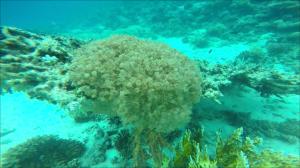 Plapperkoralle im Roten Meer